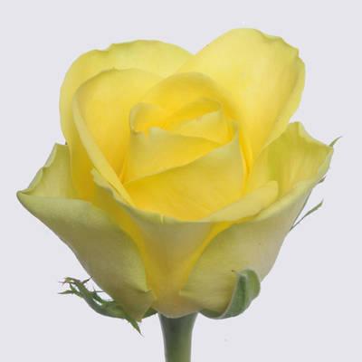 Lima+ rose plant