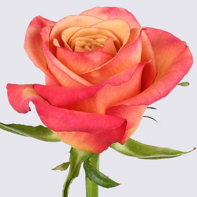 Lipstick Rose Plant