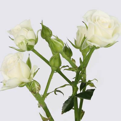 Maria Spray Rose