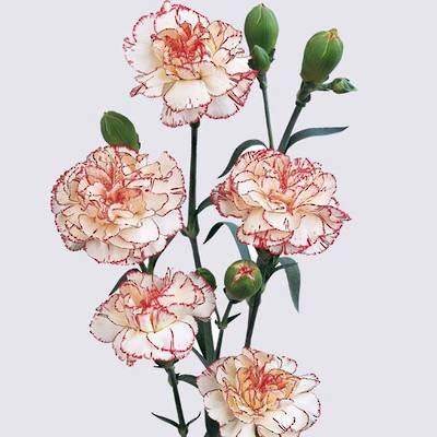 Martina Carnation Plant