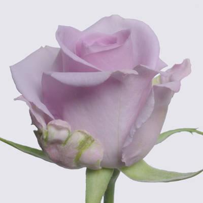 Ocean Song Rose Plant
