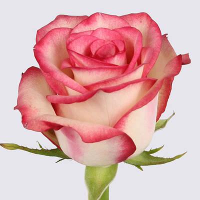 Paloma Rose Plant