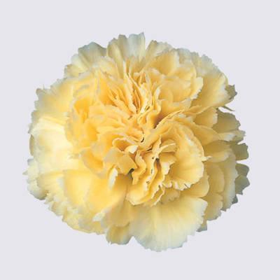 Pax Carnation Plant