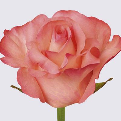 Petticoat! Rose Plant