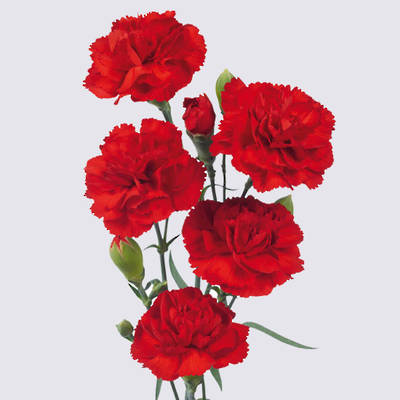 Piaff Carnation Plant