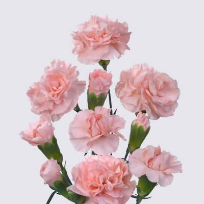 Savona Carnation Plant