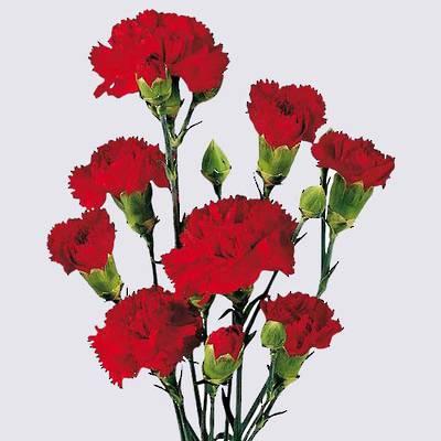 Siciliano Carnation Plant