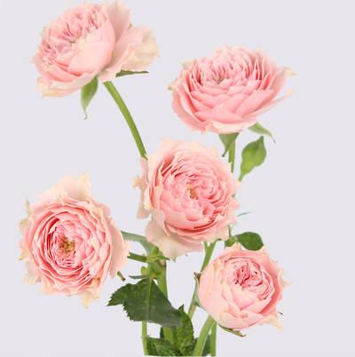 Sissi Mikado Rose Plant