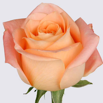 Summer Spell Rose Plant