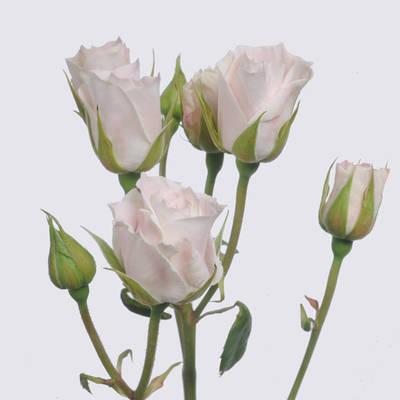 Sweet Vivianne! Rose Plant