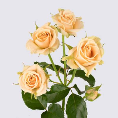 Tanja Spray Rose