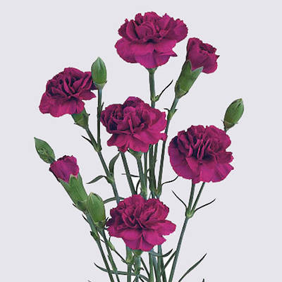 Vega Carnation Plant