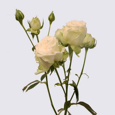 White Bubbles Spray Rose