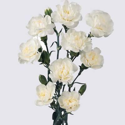 White Fleurette Carnation Plant