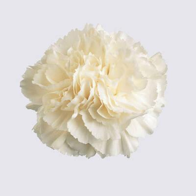 White Liberty Carnation Plant