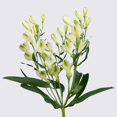 White Pearls Florinca