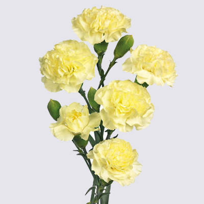 Xanthe Carnation Plant