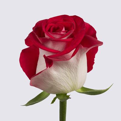 Bluez+ Rose Plant
