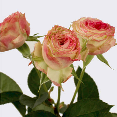 Eye Opener Spray Rose Plant