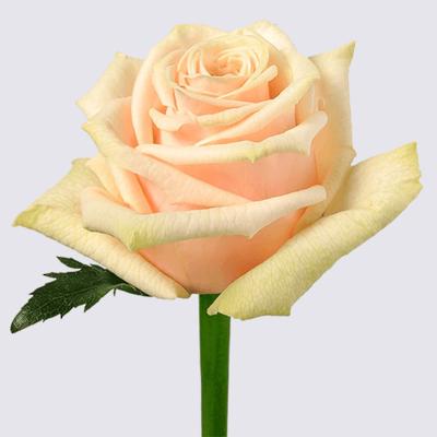 Lexington! Rose Plant