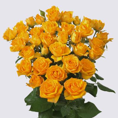 Malaga Spray Rose Plant