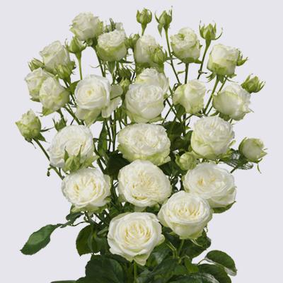 Miss Bombastic Spray Rose Plant
