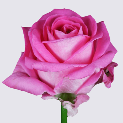 Pink Wow Rose Plant