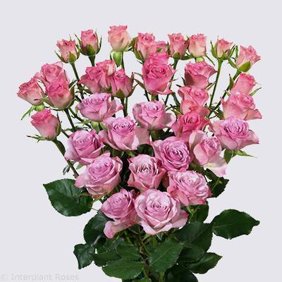 Rowena Spray Rose Plant