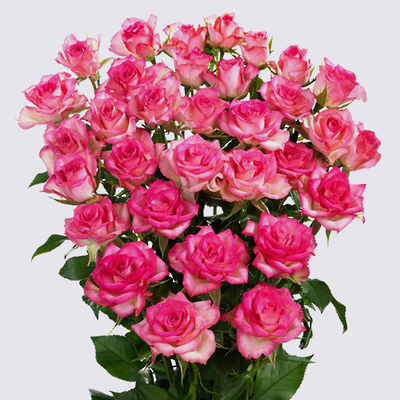 Rupski Spray Rose Plant