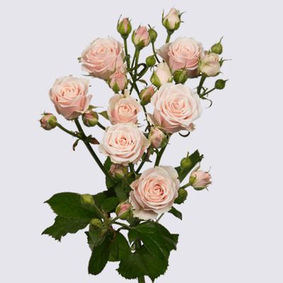 Sweet-4-Tune+ Spray Rose Plant