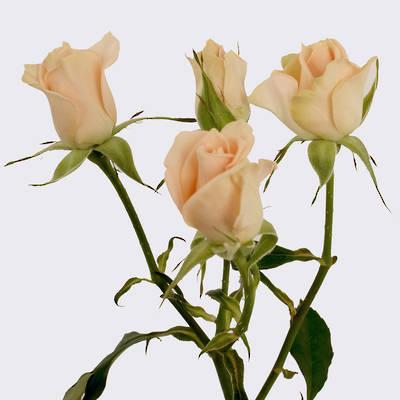 Sweet Sara Spray Rose Plant
