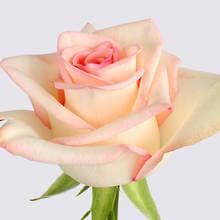 Faith Rose Plant