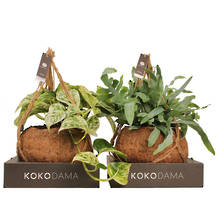 Kokodama 25cm Hanging Four Plant Package