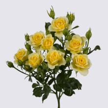 4-Good Yellow+ Spray Rose Plant