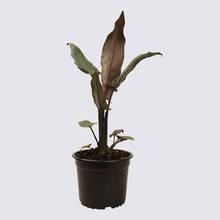 Alocasia Lauterbachiana 14cm Pot Plant