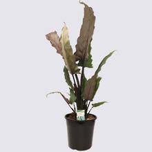Alocasia Lauterbachiana 20cm Pot Plant