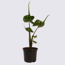 Alocasia Stingray 14cm Pot Plant