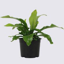 Birds Nest Fern (Asplenium Nidus Avis) 14cm Pot Plant