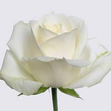 Avalanche+ Rose Plant