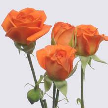 Babe Spray Rose