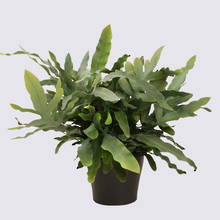 Phlebodium Blue Star Fern 17cm Pot Plant