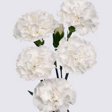Bounty Carnation Plant