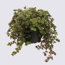 Callisia Bubbles (Callisia repens) 14cm Pot Plant