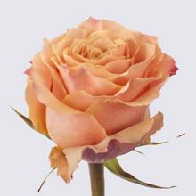 Carpe Diem+ Rose Plant