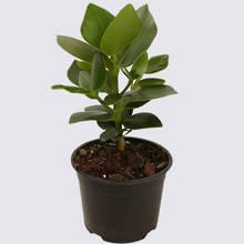 Clusia Rosea Princess 14cm Pot Plant