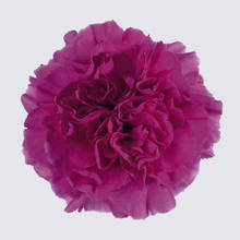 Dark Farida Carnation Plant