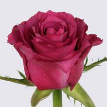 Deep Purple+ Rose Plant