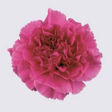 Farida Carnation Plant