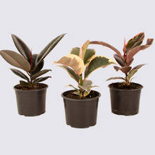 Ficus elastica set 14cm Pot Plants