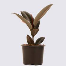 Ficus elastica Burgundy 14cm Pot Plant